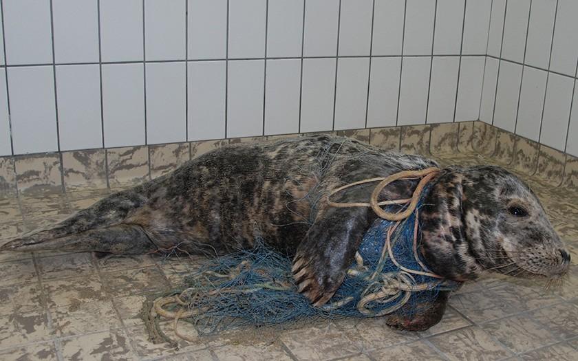 Grijze zeehond, verstrikt in net