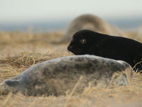 Zwarte pup van grijze zeehond op Richel