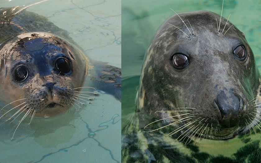 Koppen gewone en grijze zeehond naast elkaar
