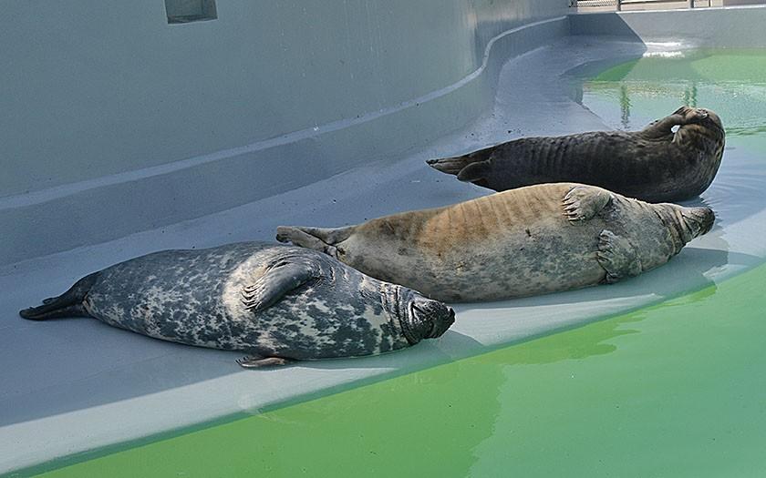 Grijze zeehonden op de kant