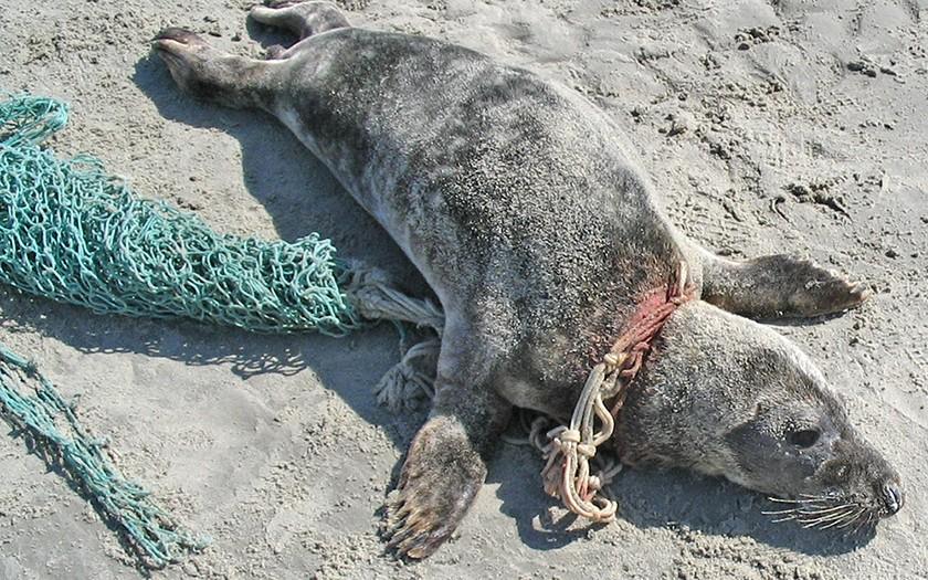 Grijze zeehond met visnet om zijn nek op het strand