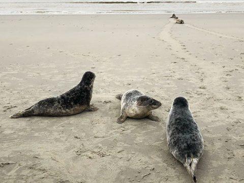 De gewone zeehonden lagen ver voor op de grijze