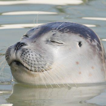 Zeehond bij Ecomare