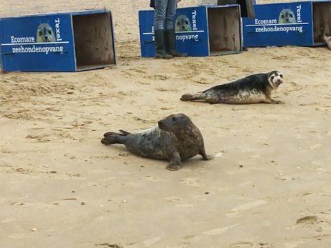 Zeehonden terug naar zee - Ecomare