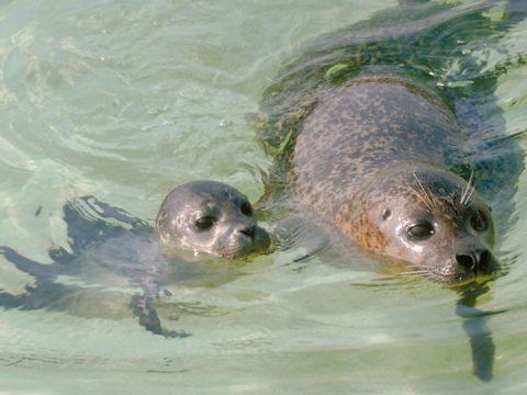 Zeehond met jong in water