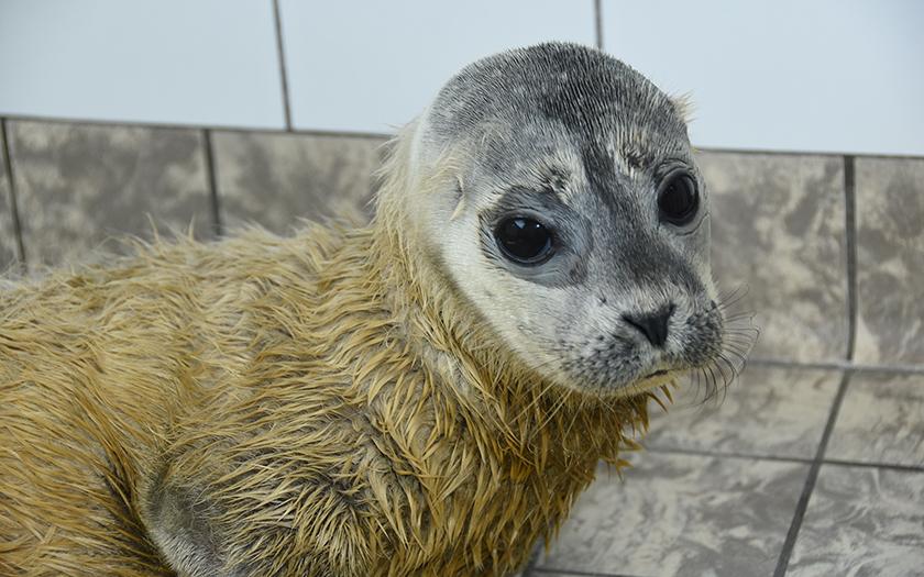 Jong te voeg geboren zeehondje; haren op kop uitgevallen