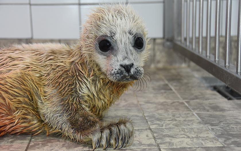 Te vroeg geboren zeehondje met lange witte geboortevacht