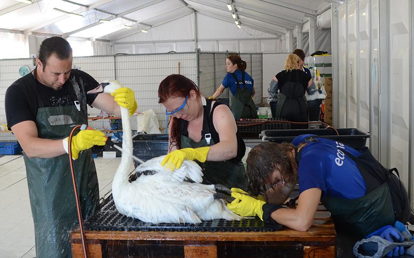 Drie verzorgers wassen een zwaan