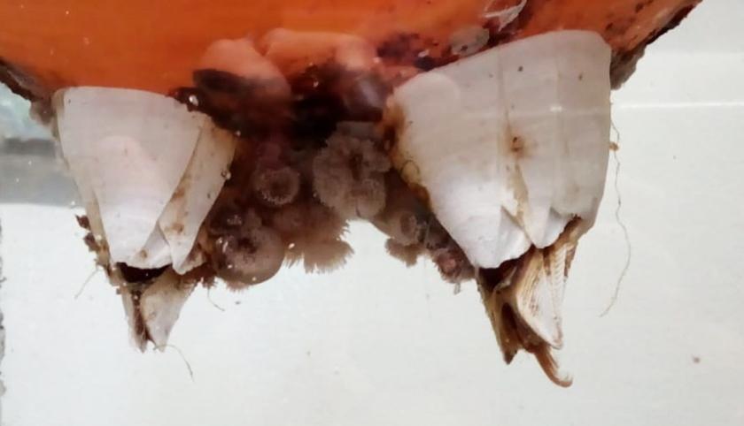 Grote noordelijke witte zeepok bij Ecomare