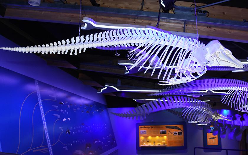 Skelet bruinvis
