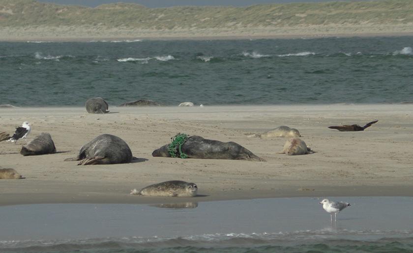 Zeehond verstrikt in net ((c) Het Sop)