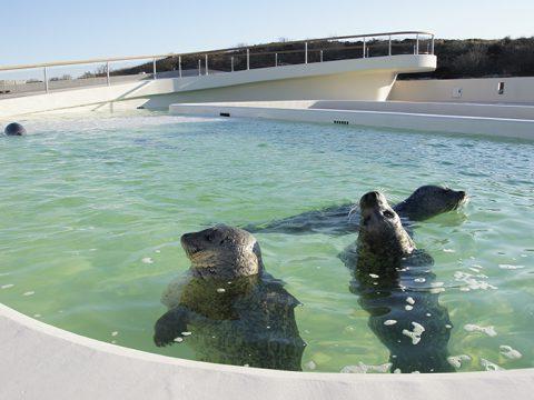Gewone zeehonden in het grote bassin