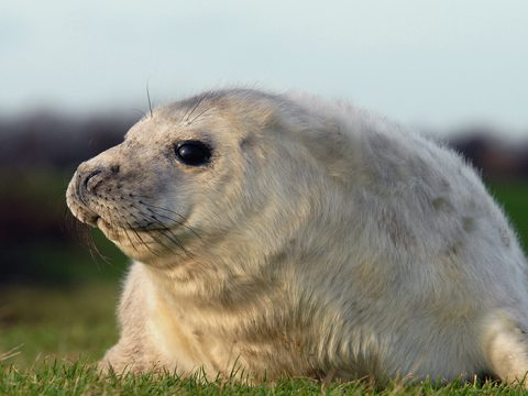 grijze zeehondenpup