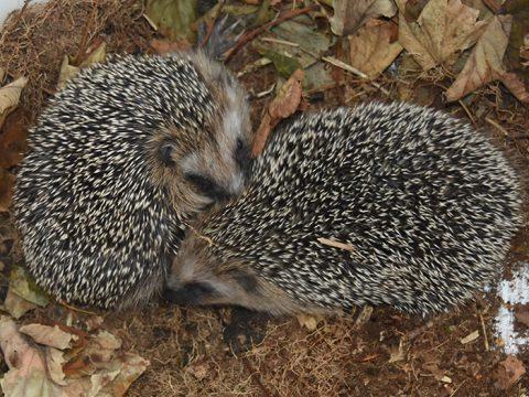 Twee egels in bladeren