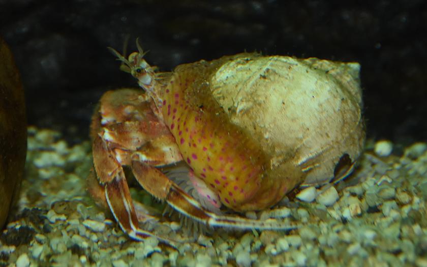 Heremietkreeft in wulkschelp met mantelanemoon op de schelp