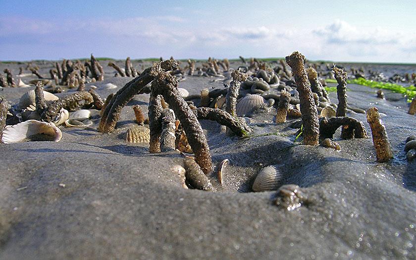 Kokerwormen, schelpdieren: de bodem van het wad zit vol leven