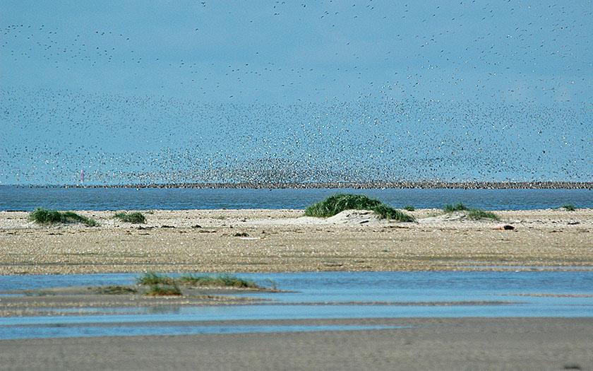 Duizenden vogels zijn afhankelijk van het waddengebied