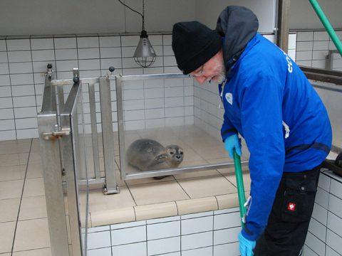 Dierverzorger maakt badje schoon terwijl zeehond toekijkt