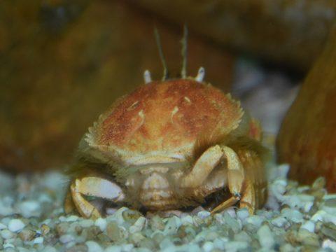 Achteraanzicht cirkelronde krab op kleine steentjes