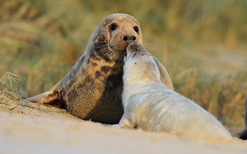 Grijze zeehond moeder met jong