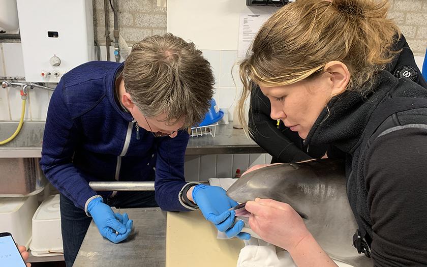 Dierenarts en dierverzorger bij kop bruinvis op behandeltafel