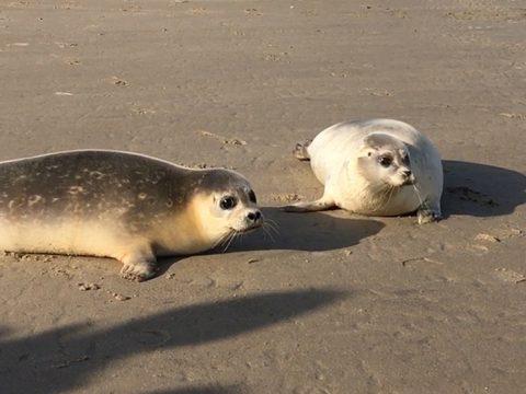 Twee gewone zeehonden op het strand
