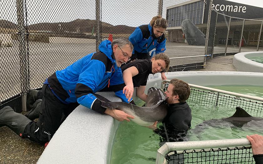 Dierverzorgers tillen bruinvis uit het bassin