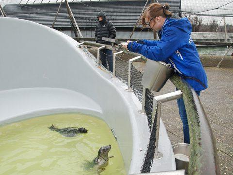 Stagiaire Michelle voert de grijze opvangzeehonden