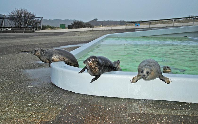 Gewone zeehonden hangen over rand bassin