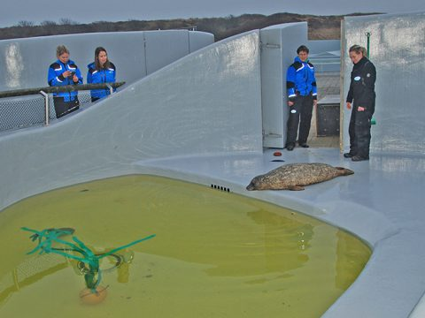 Deense zeehond in ovaal bassin