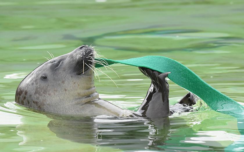 Zeehond speelt met wierstrook