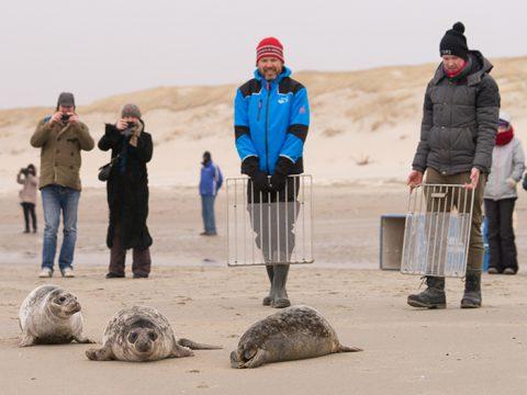 Grijze zeehonden worden naar zee gedirigeerd