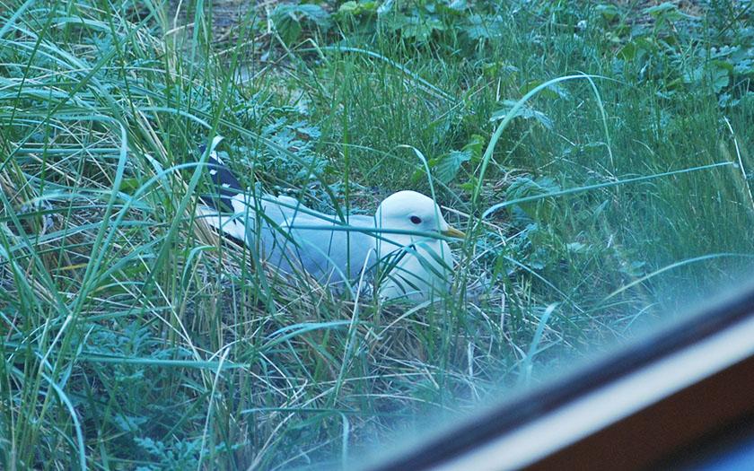 stormmeeuw nest vlak bij raam