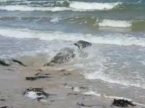 Droppie terug naar zee