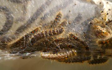 rupsen bastaardsatijnvlinder