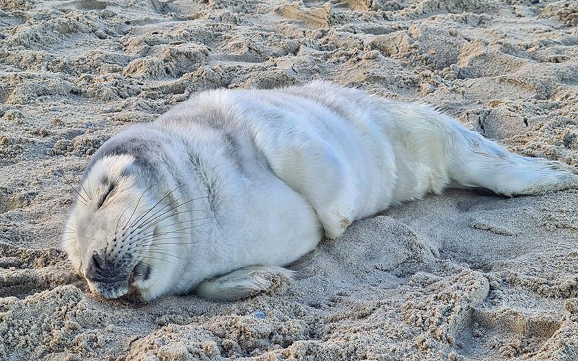 Eerste zeehondenpup in de opvang van Ecomare