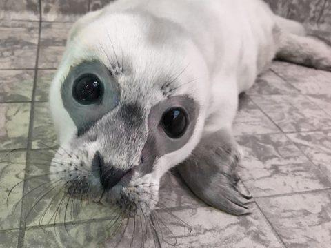Eerste zeehondenpup van het seizoen in de opvang van Ecomare