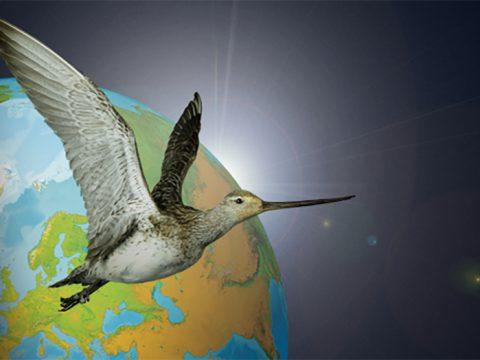 Ecomare - nieuwe tentoonstelling Weg van de Waddenzee over trekvogels